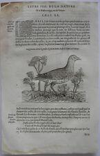 Trasladase (Rallus) schwarzralle ORIG madera corte 1555 Belon ornitología