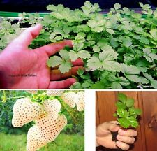 5 Pflanzen Weisse Erdbeere Ananas-Erdbeer-Geschmack bildet Ableger & Ausläufer