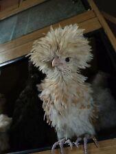 12 chicken hatching eggs believed fertile shamo brahma pekin polish araucana isa