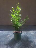 "Dwarf Pomegrante Tree Container / Patio/ Bonsai Size In 4"" Pot Mature Easy Care"