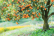BEAUTIFUL ORANGE TREE CANVAS PICTURE #23 STUNNING LANDSCAPE NATURE A1 CANVAS