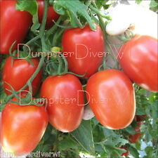 ROMA Organic Heirloom  TOMATO 50+ seeds Disease reistant Rich & Meaty NON-GMO