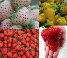 gama de fresas XXL (Blanco+Amarillos+Rojo+Fresas gigantes) 80 Semillas TOP