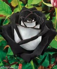 Black White Osiria  Rose Flowe Plant Seeds Flower Home Garden Love -10 Seeds