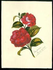 Watercolor Rose - Rose Laurence,, Bourue, August 1875