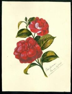 Watercolor Rose - Rose Laurence,, Bourue, August 1875