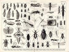 ENTOMOLOGY -  BUGS, EARWIGS & MAY FLY - ENCYCLOPEDIA STEEL ENGRAVING (c.1880)