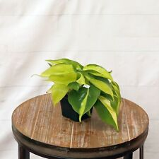 LIVE Brazilian Philodendron in growers pot evergreen indoor vine plant