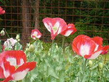 Danish Flag  Somniferum Poppy 1000+ Seeds  *Shelley aka PoppyQueen👑