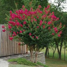 Lagerstroemia Tonto Hardy Fuchsia Bloom Hardy 1 Plant!