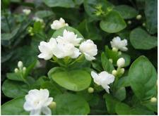 10 x Jasmine Flower Seed Fragrant Garden Plant Seed Wedding Party indoor bonsai
