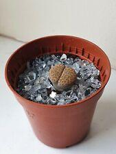 Lithops 'Living Stones' pebble plant succulent houseplants in 5cm pots