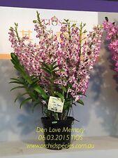 Champion 2015 TIOS Strong Fragrance Orchid Dendrobium Love Memory 75mm pot - QOB