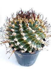 10 Turbinicarpus alonsoi SPIRALIS seeds semi korn semillas samen RARE