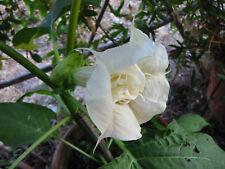 DATURA Ballerina WHITE Trompeta Doble Flor 15 Semillas Frescas balcón