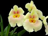Amazing Miltoniopsis Andrea West pansy orchid blooming size fragrant