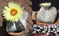 Seestern Kaktus blühend Blumen immergrün mehrjährig für drinnen den Balkon Deko