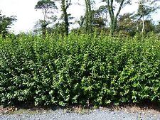 33 Green Privet Hedging Plants Ligustrum Hedge 40-60cm,Dense Evergreen,Big Pots