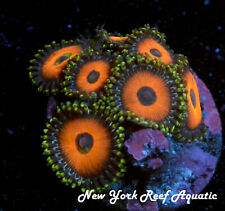 New York Reef Aquatic - 0611 A1 Fairy Tales Zoanthid, Zoa, Wysiwyg Live Coral