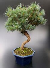Bonsai, Mädchenkiefer, Pinus parviflora, 42 cm. ca. 14 Jahre