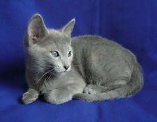 METAL REFRIGERATOR MAGNET Sitting Russian Blue Kitten Kittens Cat Cats