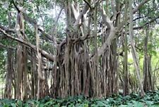 25 x Figuier Fig Tree seeds, Ficus benghalensis
