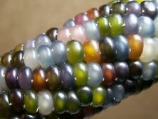 50+ Glass Gem Organic Corn Vegetable Seeds Translucent Kernels Shine Like Glass!