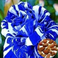 Variety Rose Samen Strauch Bush Hardy Rosa Rare Perennial Fragrant Schnittb S8Q9
