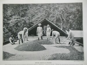 Victorian Photo Illustration (1897) Cocoa in Trinidad - Natal Laundry (Africa)
