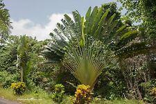 Baum des Reisenden Ravenala madagascariensis Palme 10 Samen VERSAND FREI !!!