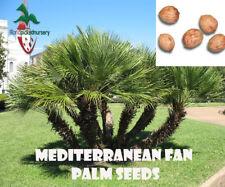 10 Mediterranean Fan Palm seeds, ( Chamaerops humilis ) from Hand Picked Nursery