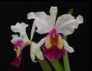 Orchid Cattleya Hardyana semi-alba Fragrant Near Bloom Size