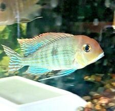 """1.5"""" Geophagus Red Head Tapajos Show Quality GORGEOUS COLORATION"""