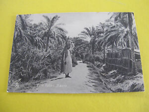 Date Palms Basra Irag Postcard