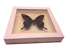 Papilio maackii Real Butterfly in wood Shadowbox Mount- white