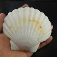 Natural Sea Shells 9 -12 cm Fan Shaped Scallop Shells Crafts Decor Beach Wedding