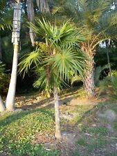 Thrinax radiata - Florida Thatch Palm - 20 Seeds