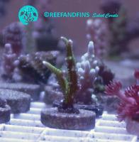Live Birdnest Seriatopora SPS Coral Frag (Saltwater)
