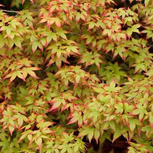Acer palmatum - Japanese Maple   Gorgeous Deciduous Garden Plant Tree in Pot