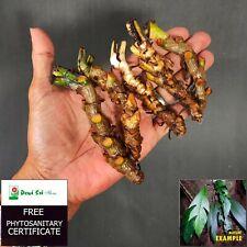 6 Rare Cuttings Stem Rhaphidophora Beccarii Aroid Tropical Plant - Free PHYTO