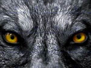 GREY WOLF EVIL EYES CLOSE UP PHOTO ART PRINT POSTER PICTURE BMP088B