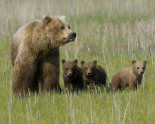 Grizzly Bears Cub 8x10 Wildlife James Jones Photography Print Picture
