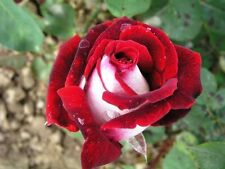 """35 SAMEN ROSE OSIRIS + Tribute - Geschenk"""","""