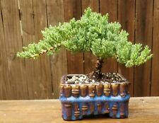 Juniper Procumbens Bonsai tree in a ceramic blue square pot with Made in Usa