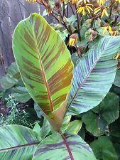 4 graines BANANIER DE L'HIMALAYA (Musa Sikkimensis)G170 Darjeeling Banana Seeds