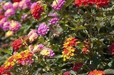 TOP viele tolle harmonische Blütenfarben beieinander liefert das Wandelröschen !