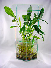 Peace lily (white Flag) live aquarium plant (Small Plant with Roots)