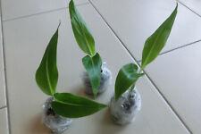 3 x * PFLANZE * Ravenala madagascariensis, Baum der Reisenden, Jungpflanzen