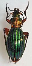 RARE Carabidae Carabus Chrysocarabus auronitens escheri Romania #W99 Beetle