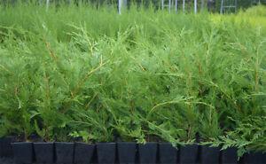 20 X 20-30cms LEYLANDII GREEN EVERGREEN CONIFER HEDGING LEYLANDII PLANT